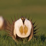 sage grouse in field