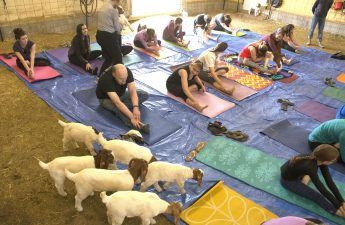 Baby goats investigate yoga class