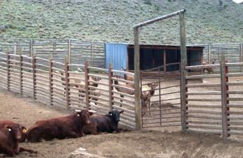 Cows on one side of pen fence and elk on the other side.
